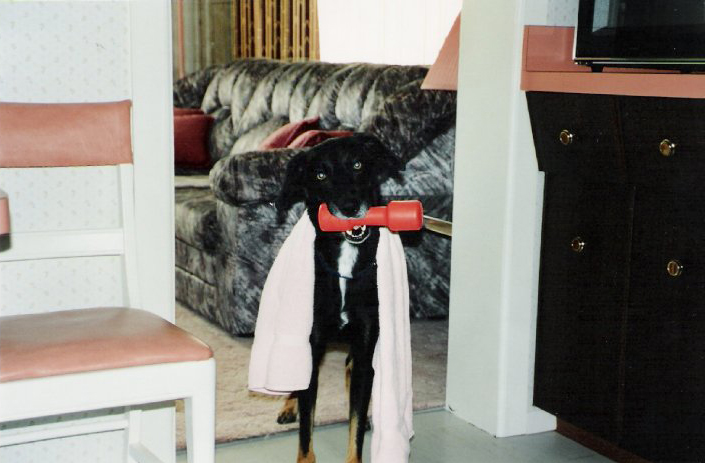 Black dog with towel and toy barbell, Crowsnest Pass pet photography