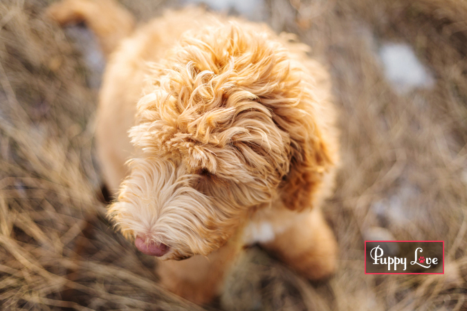 Photo of Labradoodle in Lethbridge