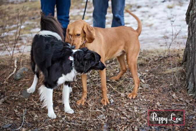 Border Collie dog in Crowsnest Pass sniffing hound