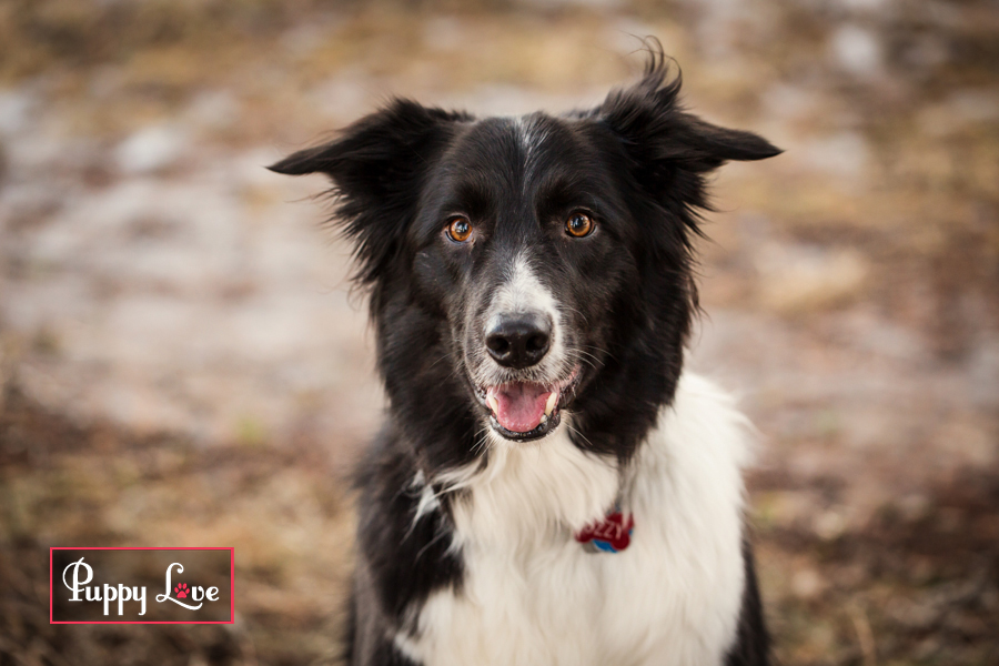 Border Collie dog in Crowsnest Pass