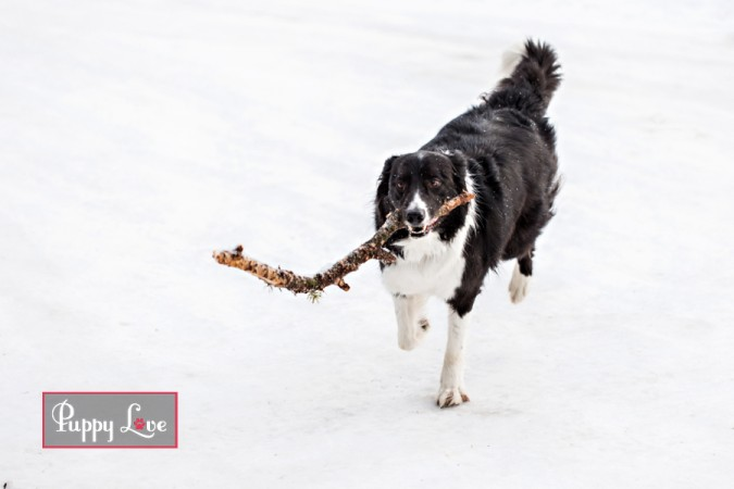 Border Collie dog in Crowsnest Pass