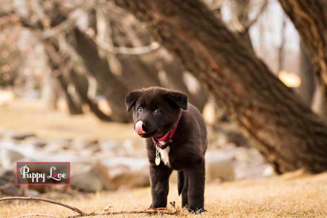 Fun Lethbridge pet photography of puppy licking nose