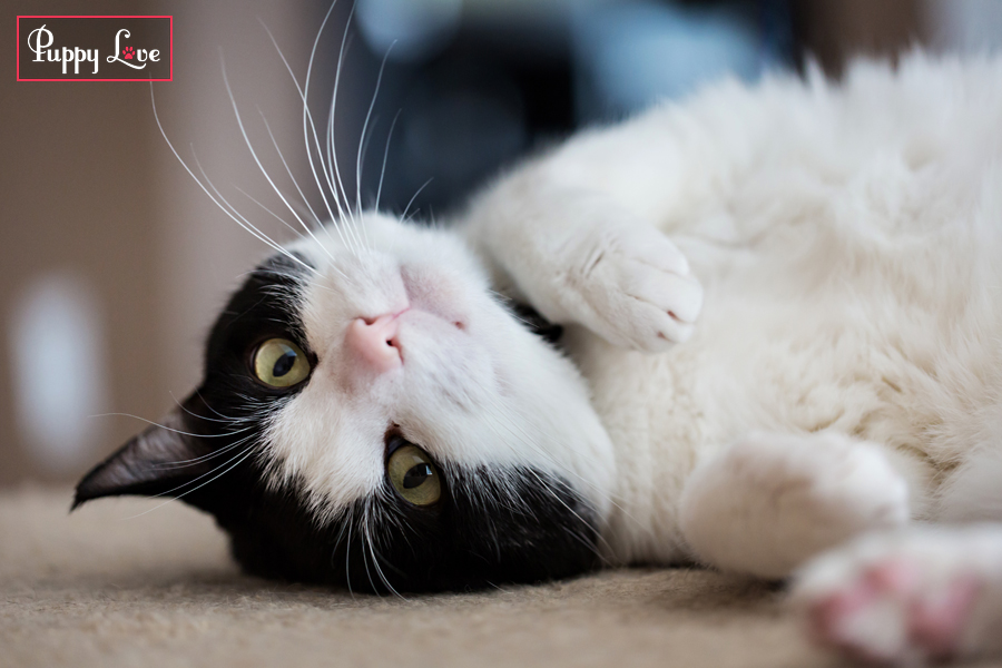 PAW society cute cat photo