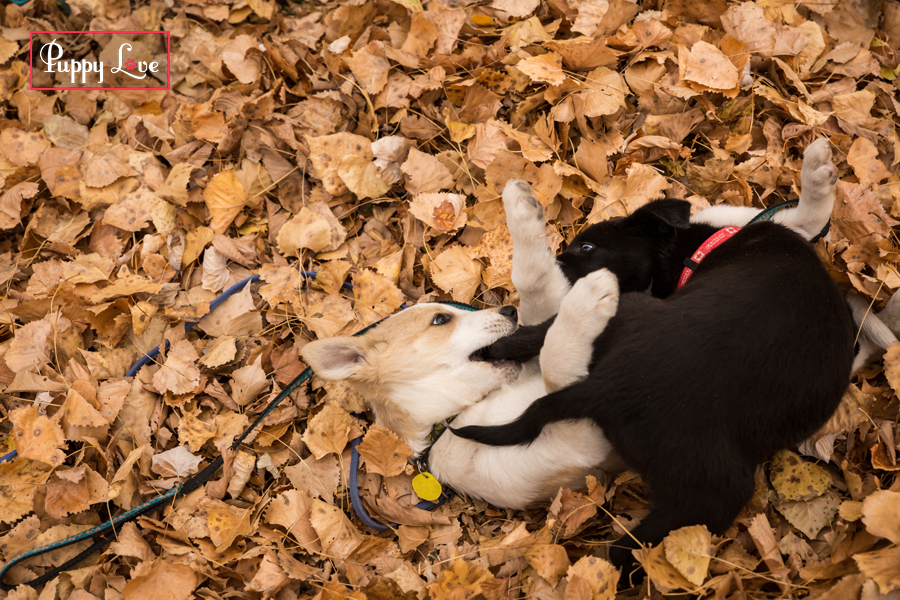 Lethbridge AARCS two dogs playing in leaves