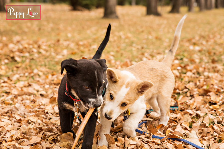 Dogs playing with stick Lethbridge AARCS