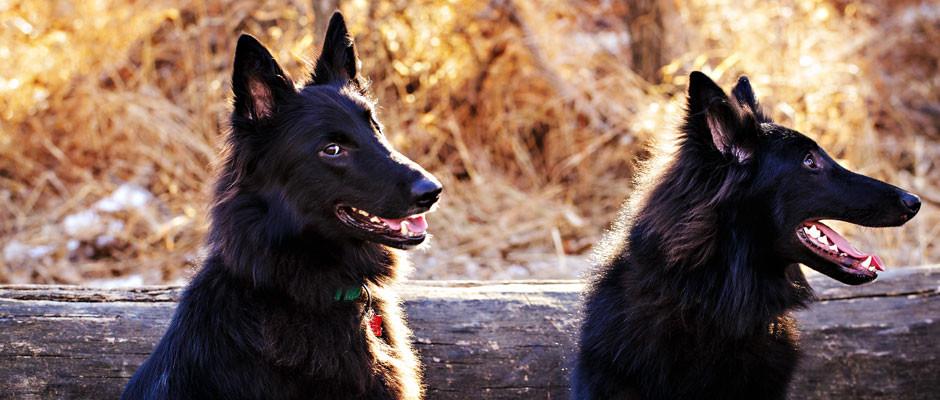 black-dogs-log