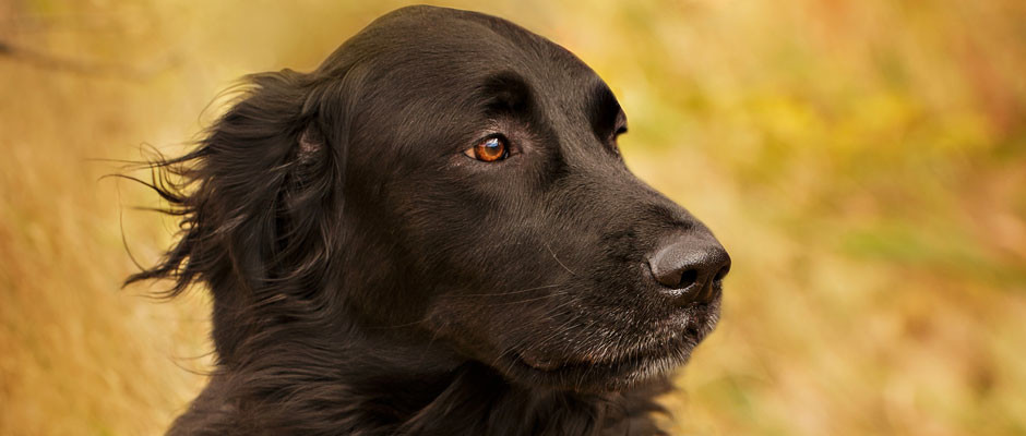 black-retreiver-wind