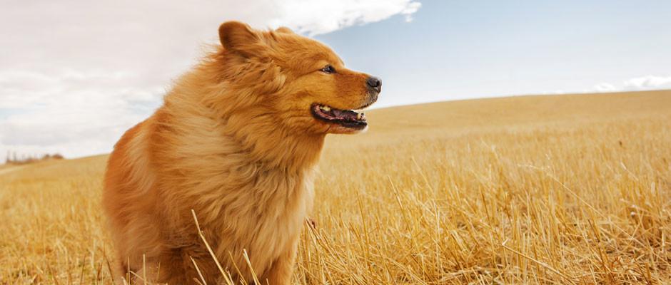 chow-dog-field