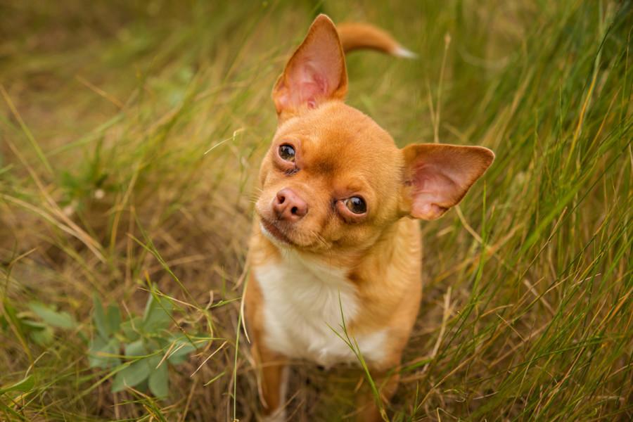Cute curious Chihuahua