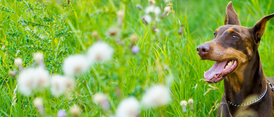 doberman-grass