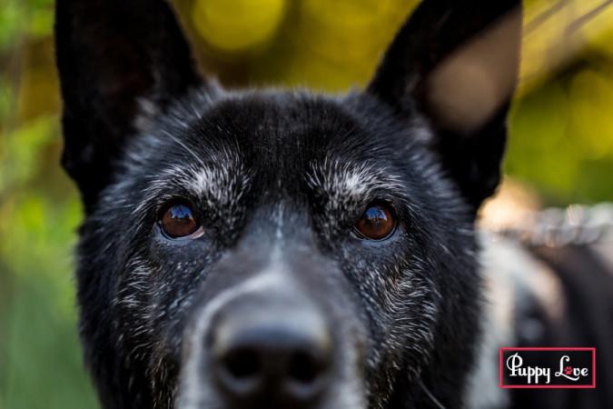 Closeup of senior dog in Lethbridge