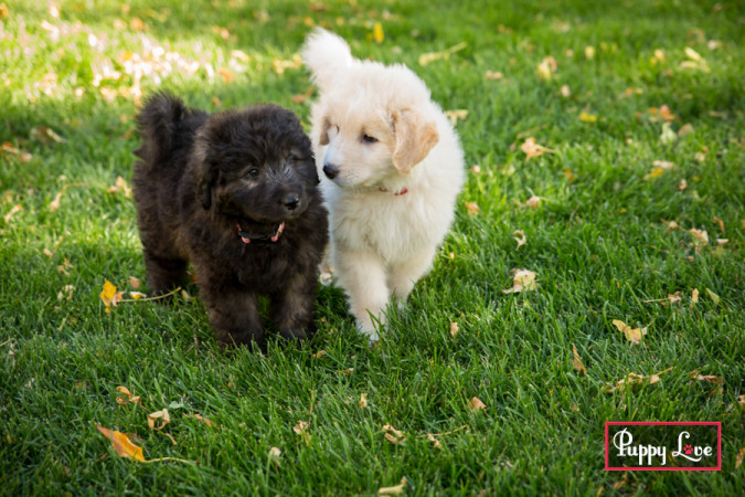 Lethbridge litter of puppies
