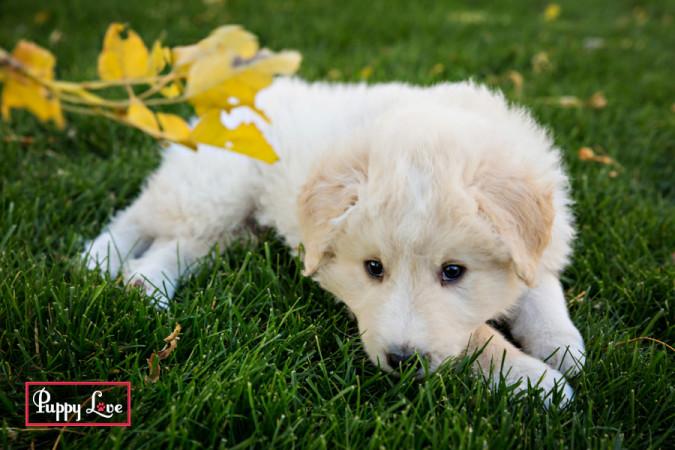 Lethbridge puppy photography