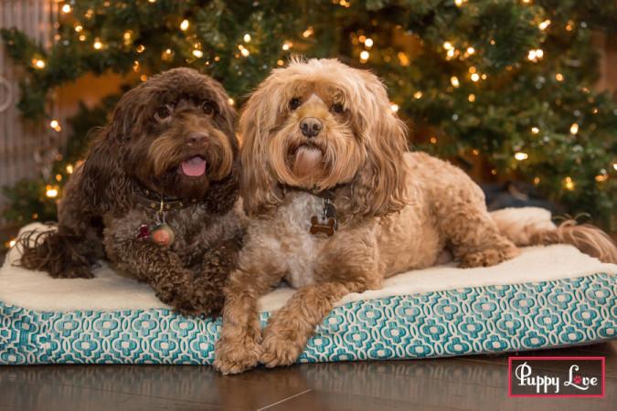 Lethbridge Christmas dog portraits