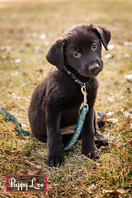 Lethbridge black lab puppies with AARCS