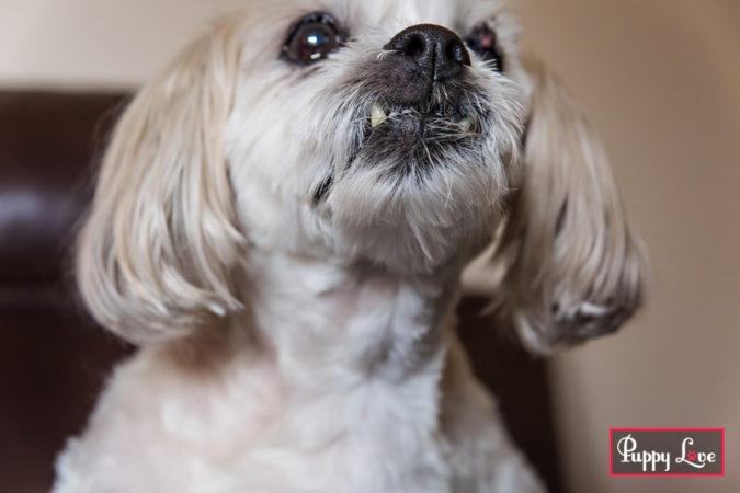 senior dog home photography session in Lethbridge