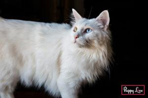 beautiful white cat photos