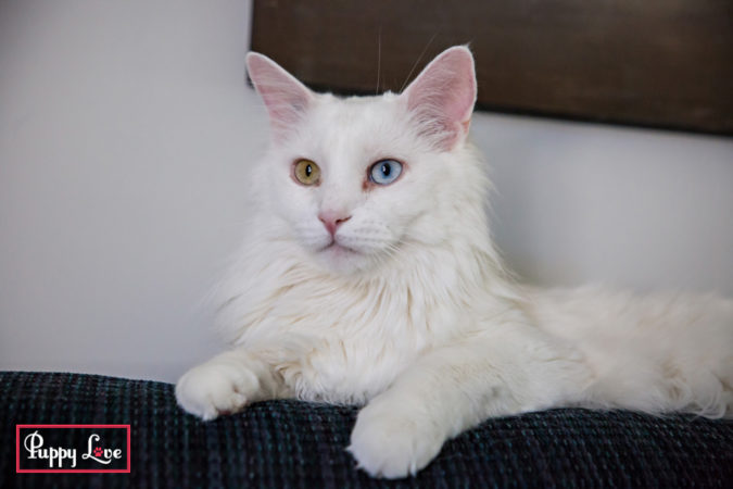 beautiful white cat photos
