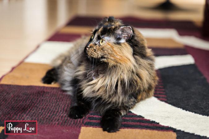cute fluffy tortie cat