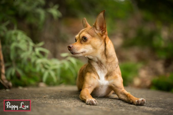 adorable outdoor chihuahua portraits in Lethbridge