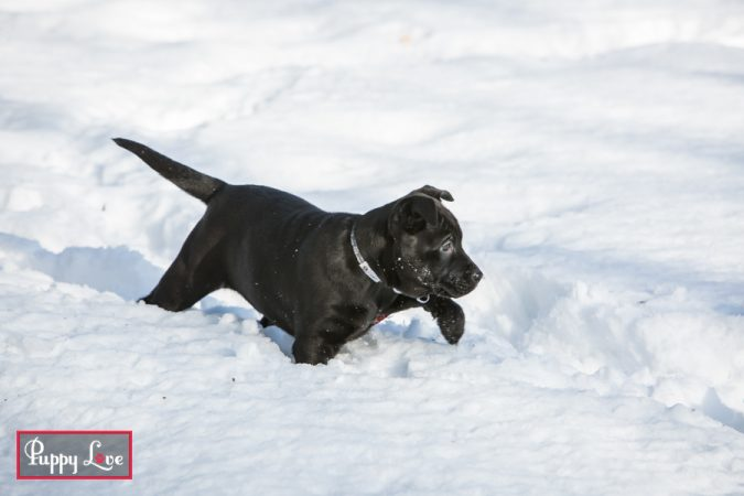 black puppy playing in the snow in Lethbridge