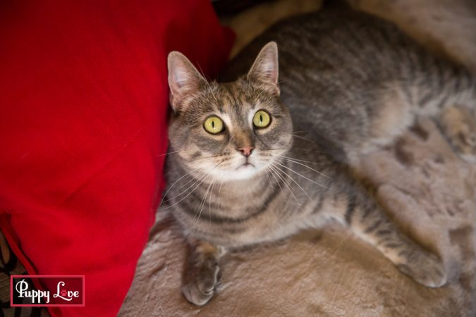 energetic tabby cat portraits