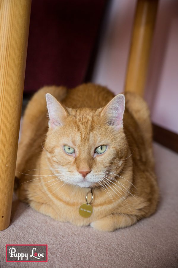 orange cat loaf